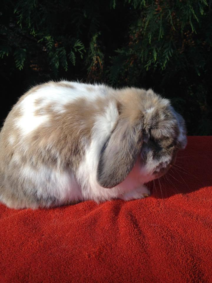 Grand Champion Holland Lop Buck