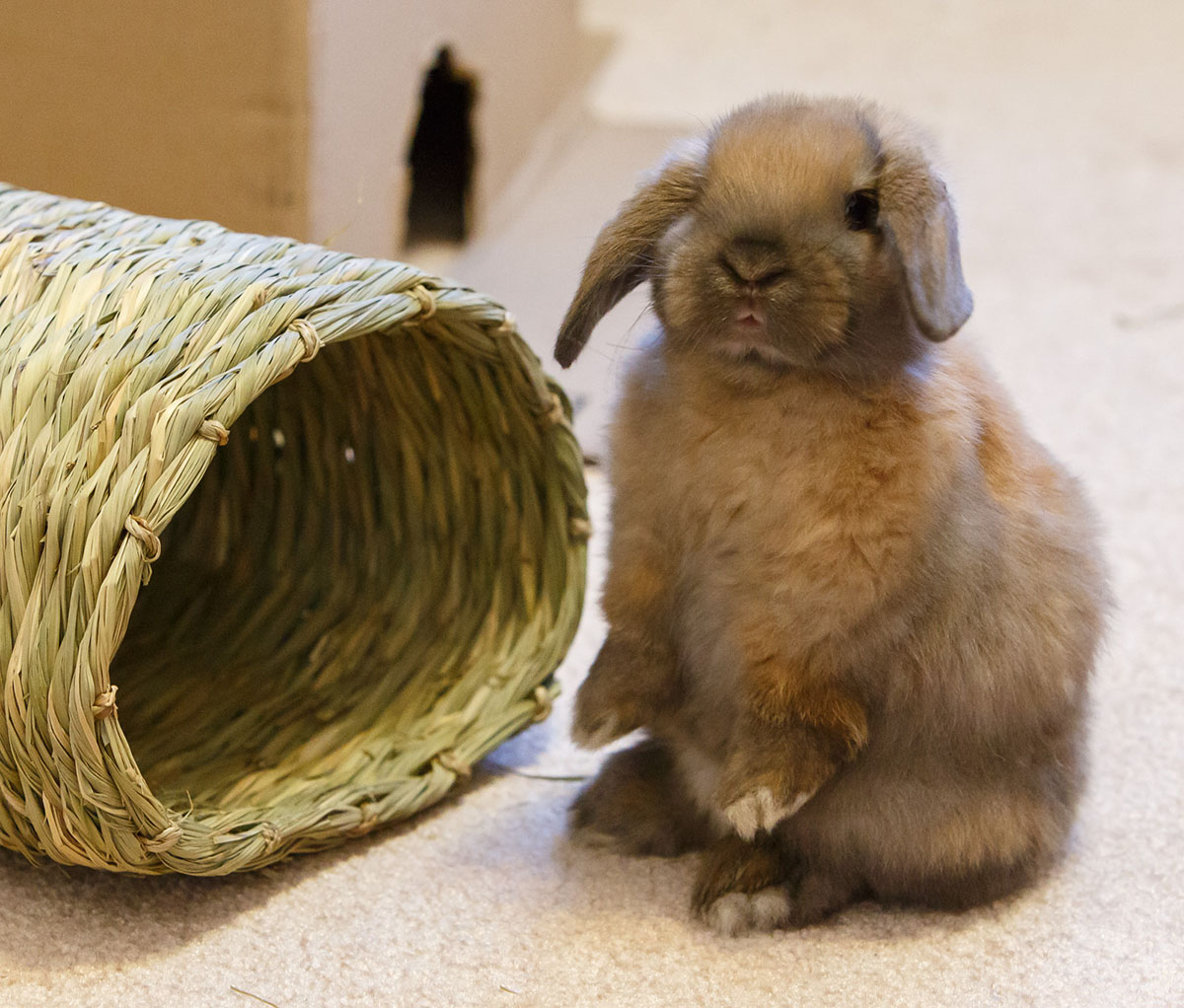 cute baby rabbit for sale in minnesota near rochester