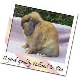 show or pet quality Holland Lop Jr Doe
