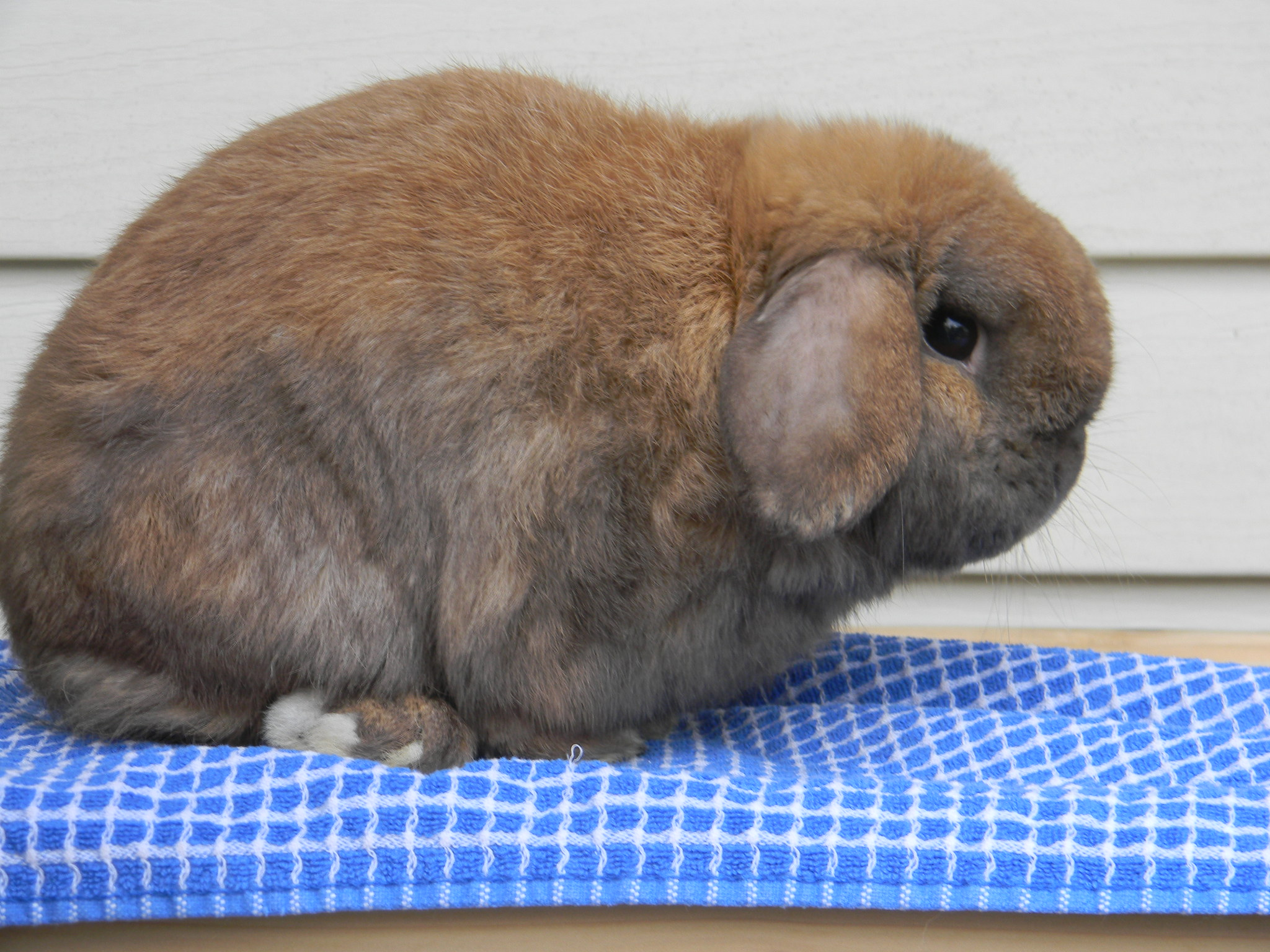 black tortoise holland lop male rabbit