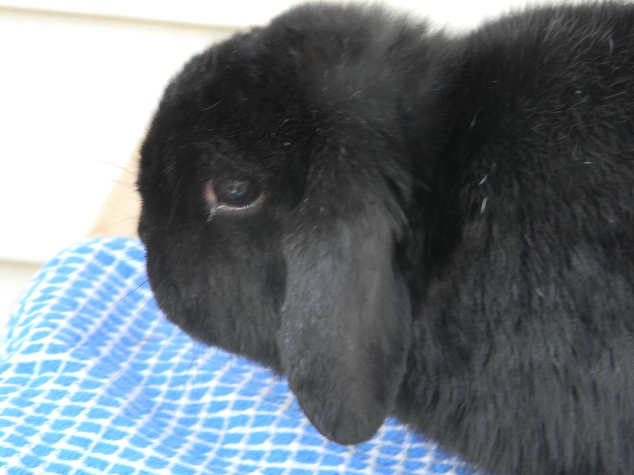 black holland lop male