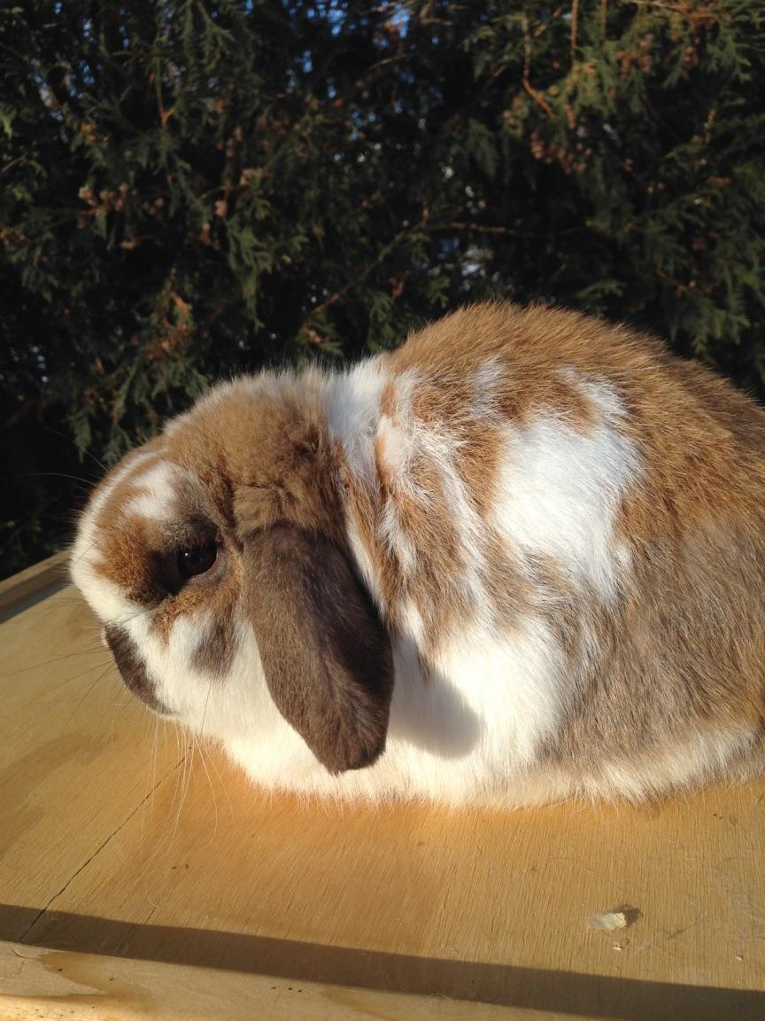 Holland Lop Senior Buck