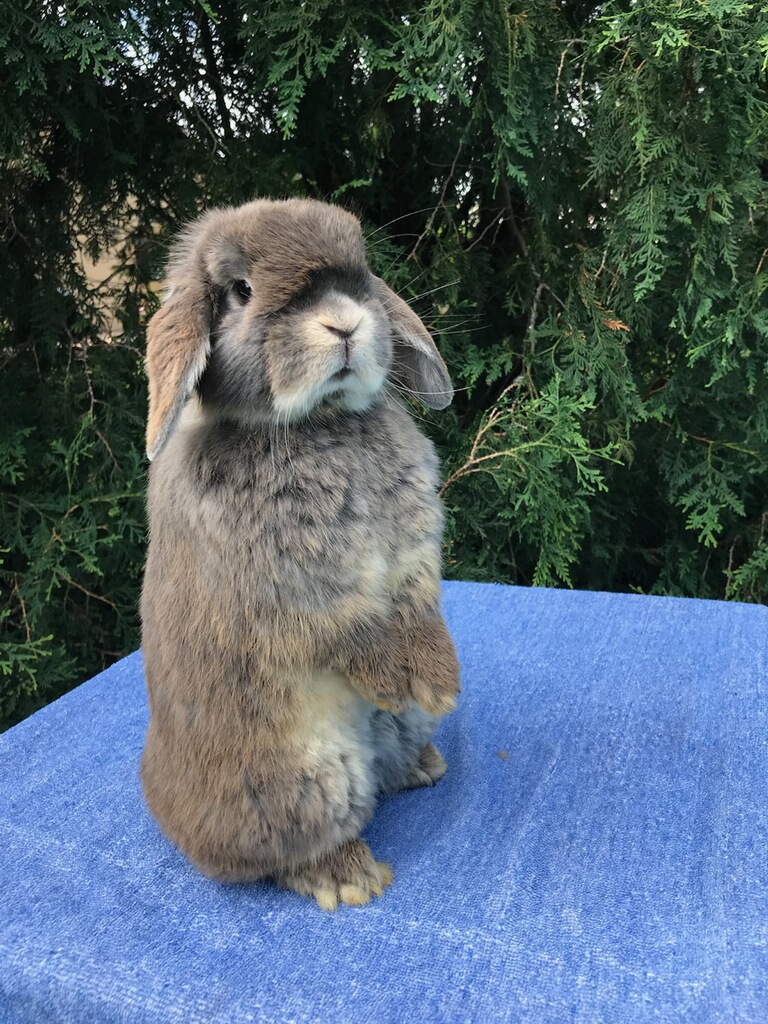 adorable holland lop standing up