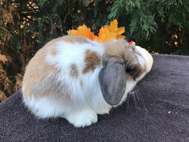 holland lop rabbit in minnesota